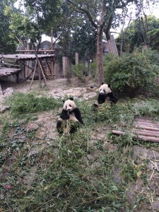 Pandas' bamboo breakfast, in Chengdu, China